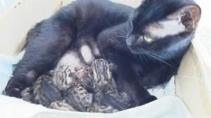 ベンガル猫出産情報
