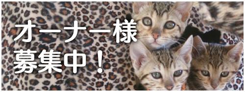 オーナー様募集中のベンガル猫