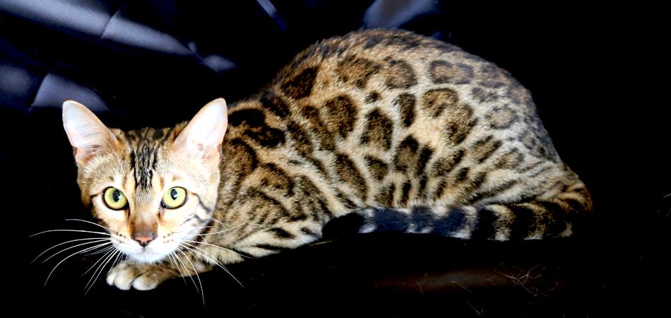 埼玉の田園風景が広がる自然の中にあるベンガル猫専門のブリーダーBe-Sanctuary